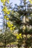 Pierwszy wiosny delikatni liście: tło zielona gałąź Zdjęcia Royalty Free