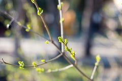Pierwszy wiosny delikatny liści, pączków i gałąź makro- tło, potomstwa rozgałęzia się z liśćmi i pączkami, Pierwszy flanca na drz Fotografia Stock