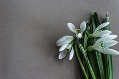 Pierwszy wiosny kwiatów małe śnieżyczki zdjęcie stock