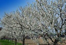 Pierwszy wiosny kwitnący drzewo zdjęcie royalty free