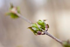 Pierwszy zieleń liście Fotografia Stock
