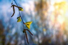 Pierwszy zielona brzoza opuszcza z ziarnami na wiosna słonecznym dniu przeciw niebieskiemu niebu Fotografia Royalty Free