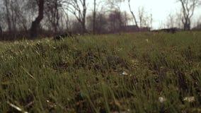 Pierwszy zielona trawa, gazon w ogr?dzie Pierwszy trawa po zimy Pojęcie: nowy życie 4K zbiory wideo