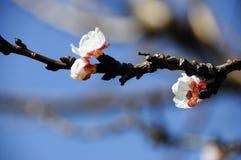 Pierwszy znak wiosna: biel kwitnie na morelowym owocowym drzewie Fotografia Stock