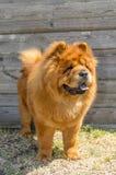 Pies, żółty chow w stojaku, Zakończenie zdjęcie royalty free