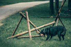 Pies łama drewnianą zaporę Obraz Royalty Free