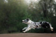 Pies łapie dyska Sporty z zwierzęciem domowym Aktywny Border Collie fotografia stock