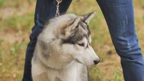 Pies Łuskowaty traken siedzi blisko swój właściciela zdjęcie wideo