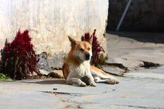 Pies śpi w wiosce Likeng Zdjęcie Stock