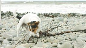 Pies żuć kij na plaży zdjęcie wideo