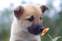 pies 1 szczeniaka wyczuć kwiat obraz stock