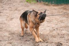 Pies Zdjęcie Stock