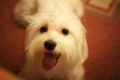 pies. zdjęcie stock