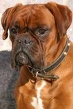 pies. zdjęcia royalty free