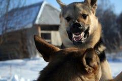 pies alsatian zabawne obraz stock