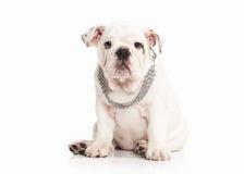 Pies Angielski buldoga szczeniak na białym tle obraz stock