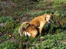 Pies łapiący w akcie Zdjęcia Stock
