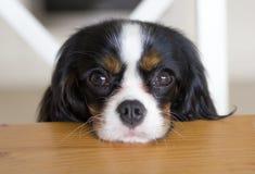 Pies błaga dla jedzenia Fotografia Royalty Free