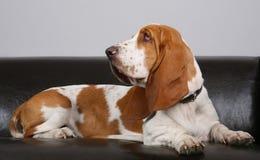 Pies baset kłama na kanapie Obrazy Stock