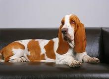 Pies baset kłama na kanapie Fotografia Stock