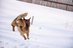 Pies bawić się w śniegu Rewolucjonistka psi bieg w śniegu psi figlarne Zwierzę domowe bawić się outside w zimie fotografia royalty free