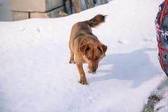 Pies bawić się w śniegu Rewolucjonistka psi bieg w śniegu psi figlarne Zwierzę domowe bawić się outside w zimie zdjęcia royalty free