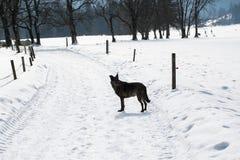 Pies bawić się w śniegu Zdjęcia Royalty Free