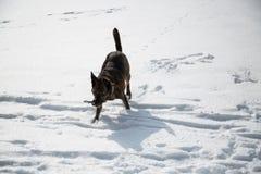 Pies bawić się w śniegu Fotografia Stock