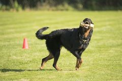 Pies, Beauceron, przynosi dumbbell Obraz Royalty Free