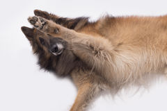 Pies, Belgijska baca Tervuren, łapa up, odizolowywający obraz stock