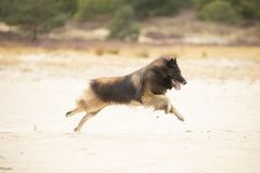 Pies, Belgijska baca Tervuren, biega w piasku zdjęcia stock
