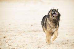 Pies, Belgijska baca Tervuren, biega z piłką w piasku zdjęcia royalty free