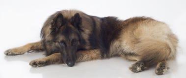 Pies, Belgijska baca Tervuren, lying on the beach, odizolowywający obrazy royalty free