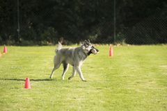 Pies, Belgijska baca Tervuren, przynosi dumbbell Zdjęcia Stock
