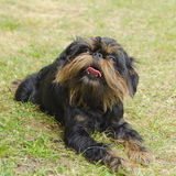 Pies, Belgijski gryfon na gazonie, Zdjęcie Royalty Free