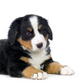 pies bernese górski szczeniak Obrazy Stock