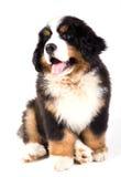 pies bernese górski szczeniak Obraz Stock