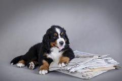 pies bernese górski szczeniak obraz royalty free