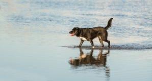 Pies biega Zdjęcie Stock