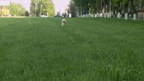 Pies biega na zielonej trawie zbiory wideo