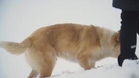 Pies biega przez śniegu zbiory