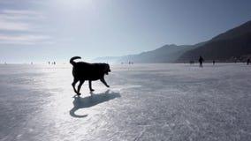 Pies biega przez lód jezioro baikal zdjęcie wideo
