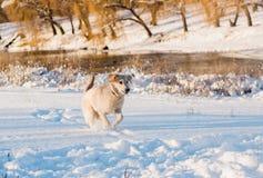 Pies biega w śniegu spadać Zdjęcie Stock