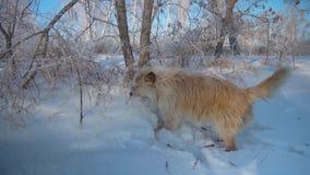 Pies biega wzdłuż ścieżki w zimy lasowym Szczęśliwym zwierzęciu domowym zbiory