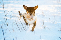 Pies biegający w zima śniegu Zdjęcia Stock