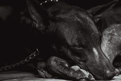 Pies blokuje Fotografia Royalty Free