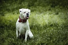 Pies - bokser obrazy royalty free