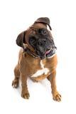 pies boksera zdjęcie stock