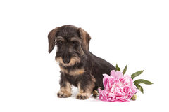 Pies brown kolor trakenu jamnik Zdjęcia Stock