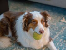 Pies chcieć bawić się Zdjęcie Royalty Free